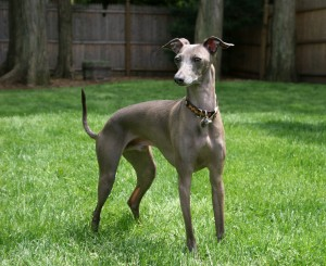 Italian_Greyhound_standing_gray