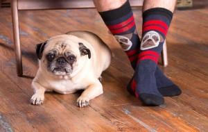 pug-life-socks